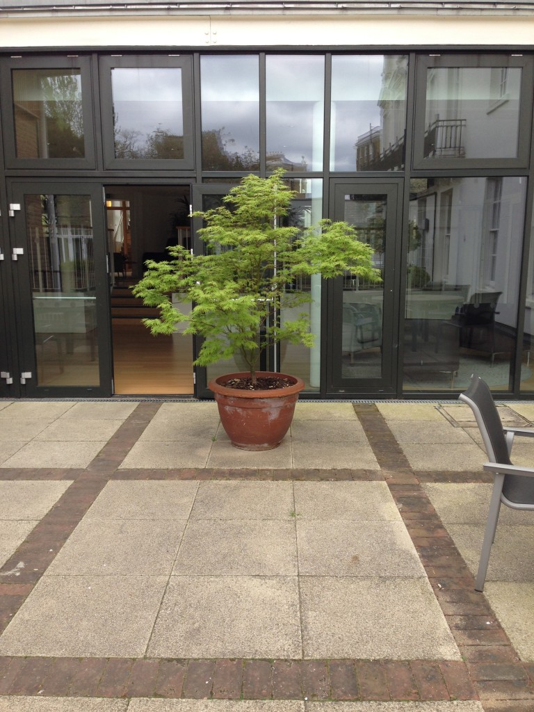 Acer at Holy Trinity Hospice, Clapham