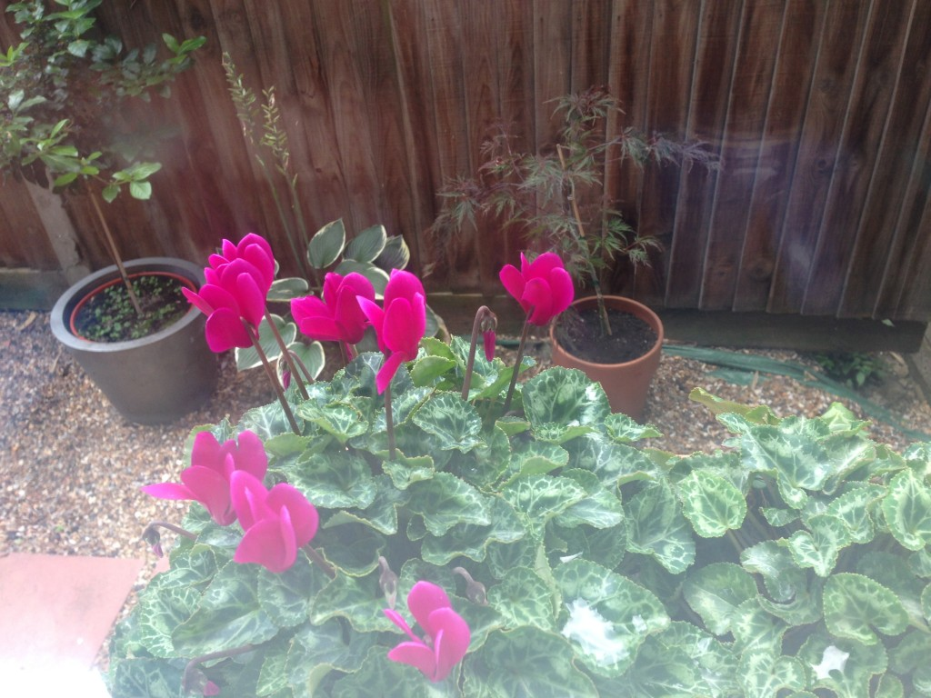 I love this view from the kitchen but slugs are wrecking the cyclamen flowers