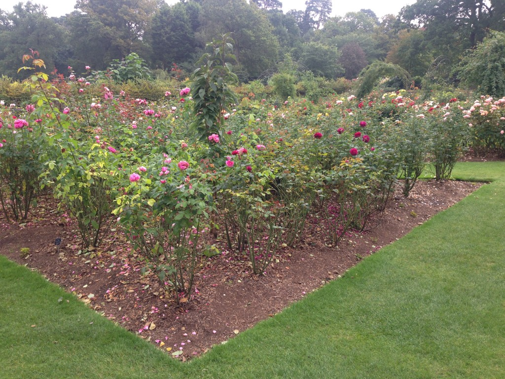 Incredibly healthy rose plantings