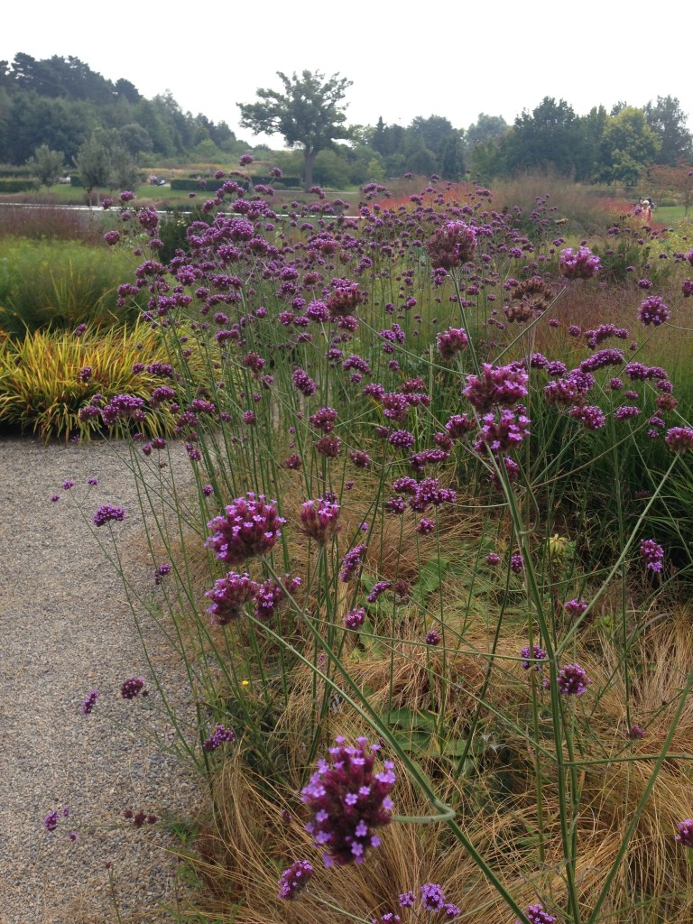 Verbena bonariensis proving its worth in this bed