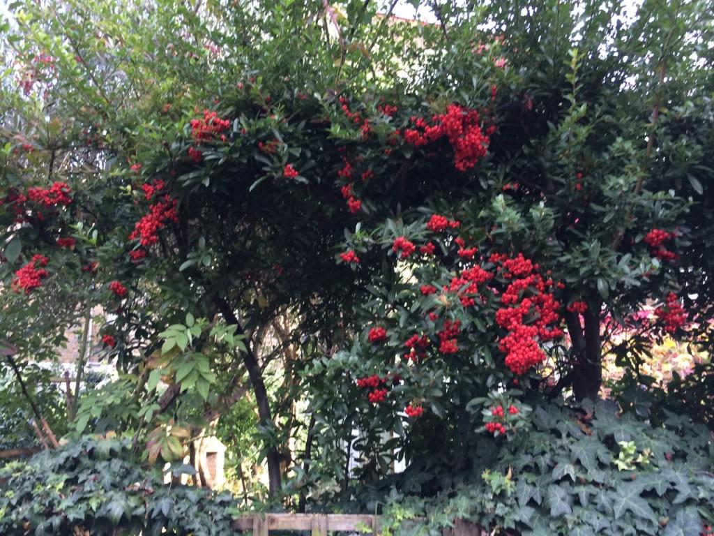 Berries on next door's trees