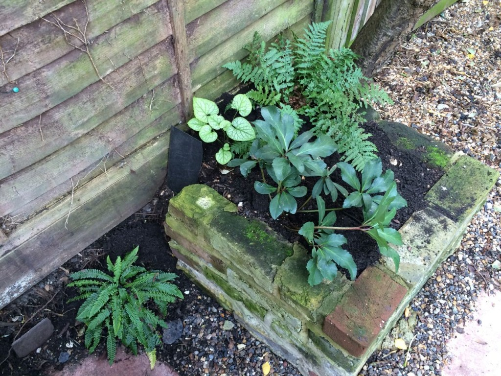 For some reason, everything does really well in this small shady bed. The fern is a bit cat trodden on and slug eaten, but otherwise, the Hellebore from a Clapham fete is doing really well, so is the other division of a Brunnera 'Mr Morse' - bring on the spring white / fresh garden!