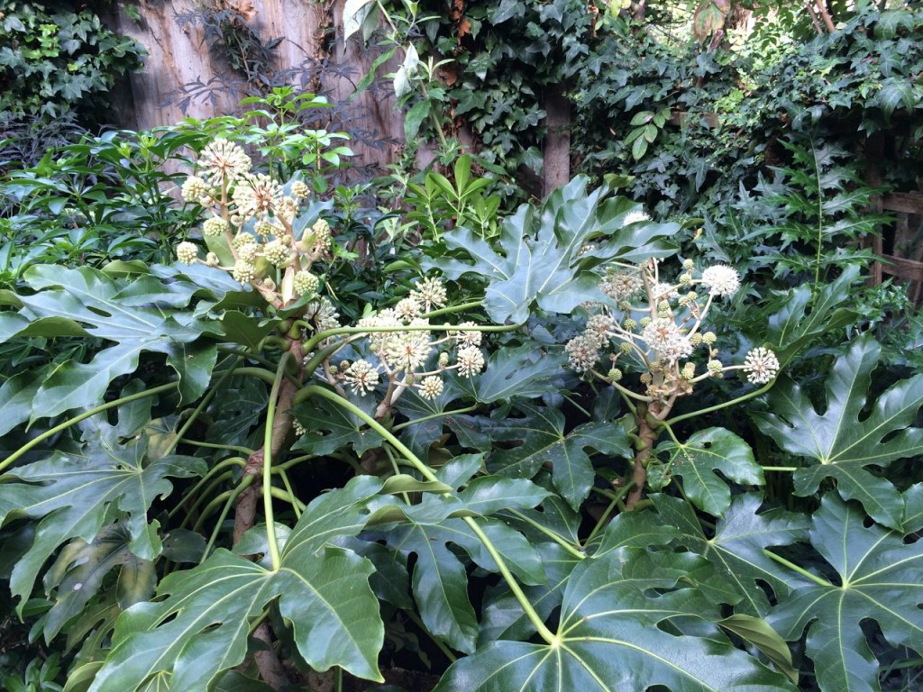 Fatsia japonica is coming into flower now - it's quite overgrown and a sun hogger, so will probably cut right back to ground level next year to make more manageable (and protect more from snails!)