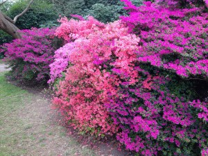 Azaleas at Kew Gardens in spring