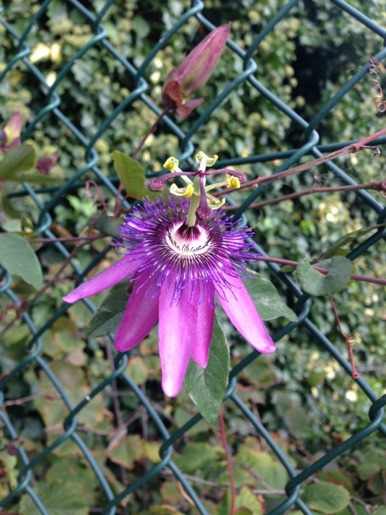 Passiflora 'Purple Rain' on a railing of Clapham Manor Primary School