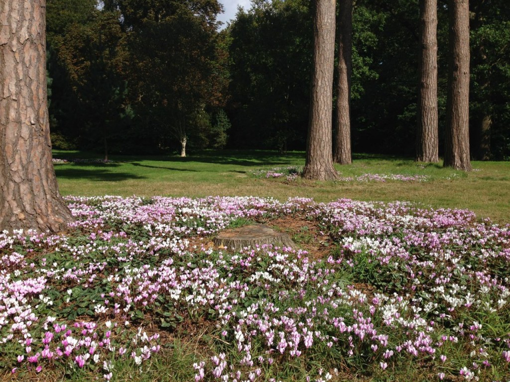 Cyclamen in the Pinetum at RHS Wisley