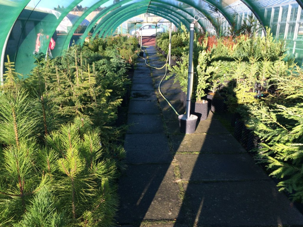 Christmas trees! Well, conifer saplings