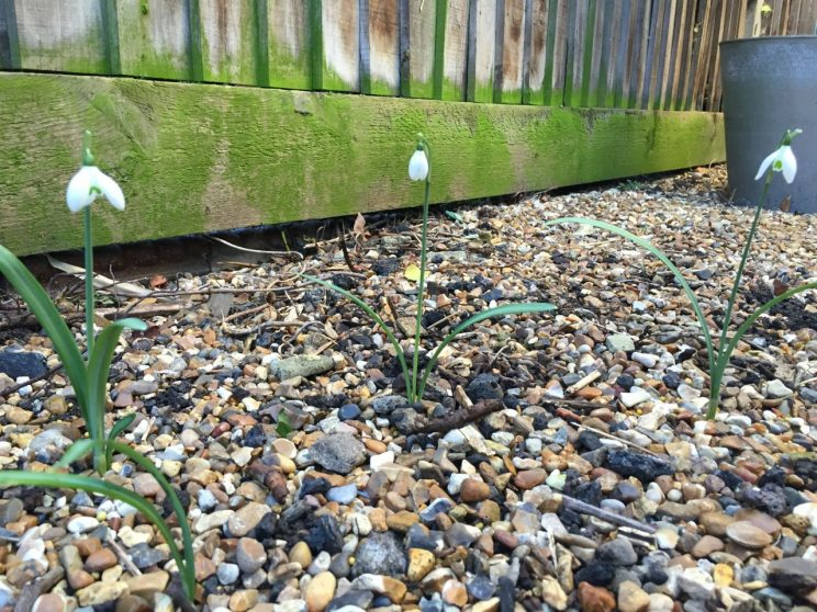 A few of the Galanthus survived the year and have flowered! I've put down copious amounts of fertiliser in a bid to grow their number of 2016. Does anyone know what type of Snowdrop this is?