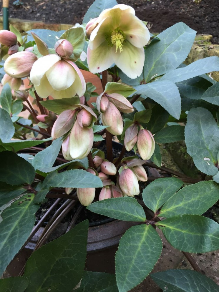 Helleborus x hybridus 'Ivory Prince' is finally opening its large flowers (not sure what the little black marks are...)