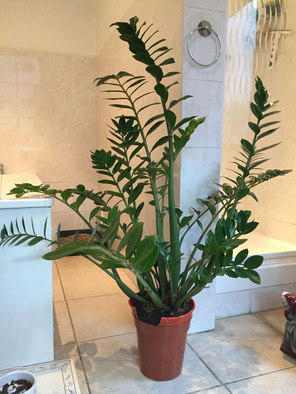 Dividing a zamioculcas zamiifolia zz plant jack for Plante zamioculcas