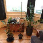 Dividing a Zamioculcas zamiifolia (ZZ plant)