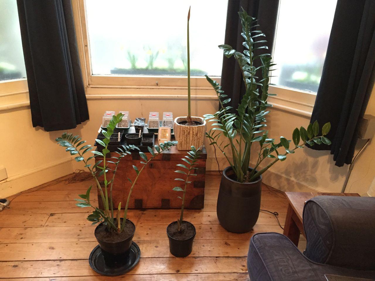 Dividing A Zamioculcas Zamiifolia Zz Plant Jack Wallington Garden Design Ltd