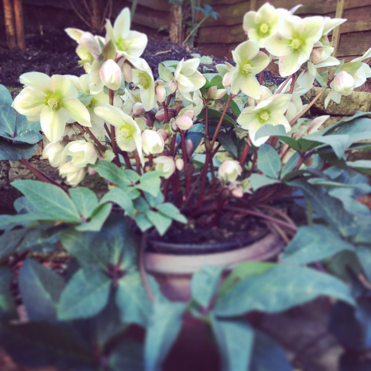 Helleborus 'Ivory Prince' now almost fully in flower and looking better than last year