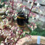 Fuzzy buzz: heuchera think you are?