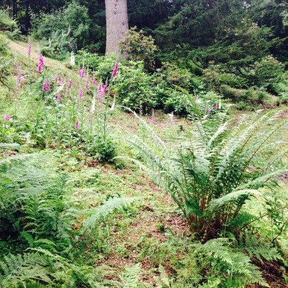 Ferns smother the Pinetum and woodland areas
