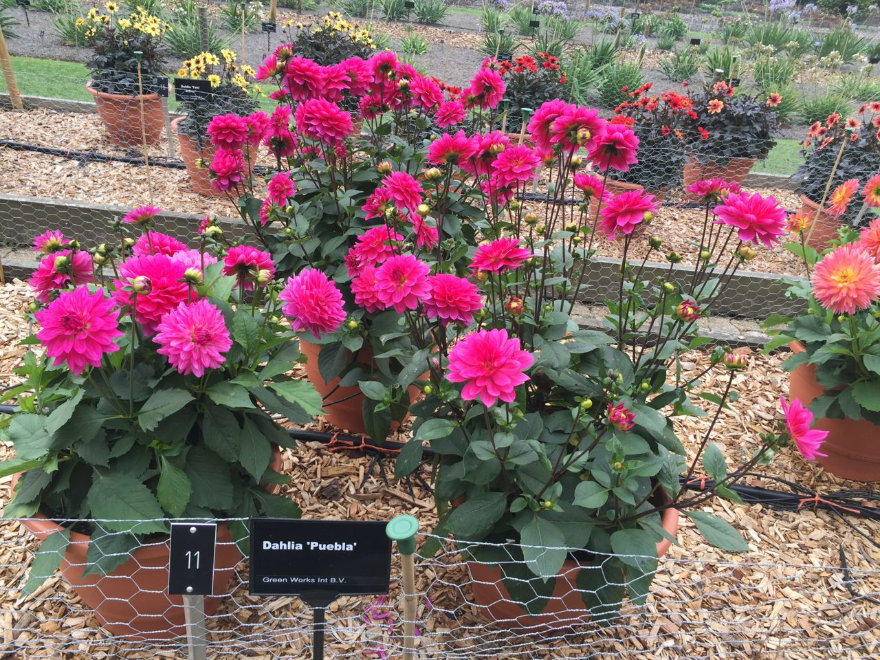 National Dahlia Society Annual Show 2015 Rhs Dahlia