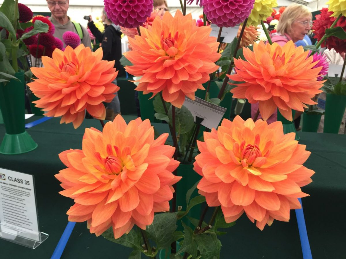 national-dahlia-collection-rhs-wisley-201522