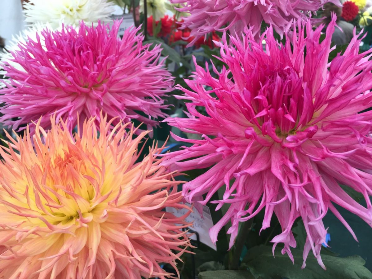 national-dahlia-collection-rhs-wisley-201525
