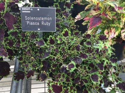 Solenostemon 'Piasca Ruby' - less eye candy, more interesting for more tasteful borders perhaps