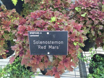 Solenostemon 'Red Mars' - lovely, subtler foliage