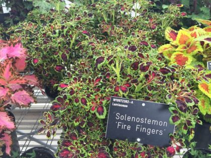 Solenostemon 'Fire Fingers' - a bit of razzle dazzle from those fire fingers. I think some of my seedlings must be this cultivar.