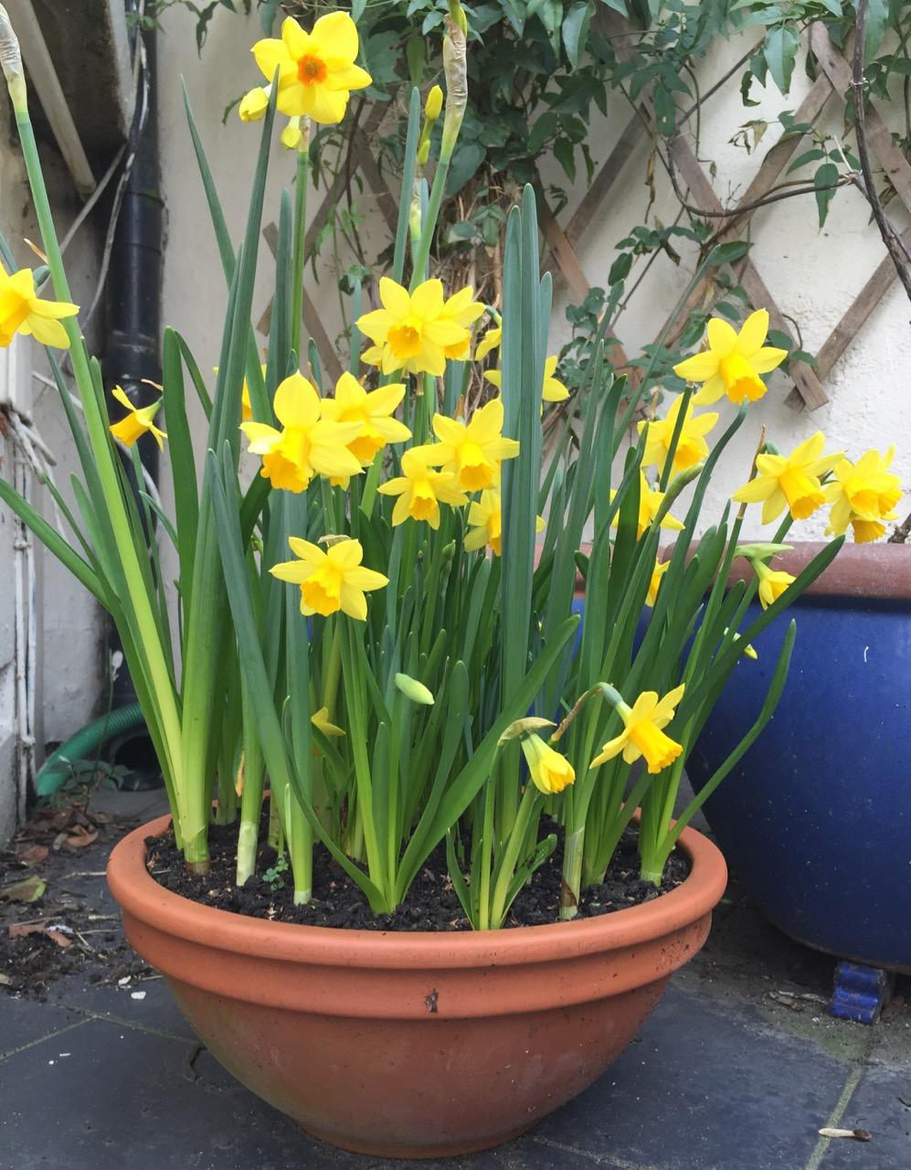 Narcissus (mixed)