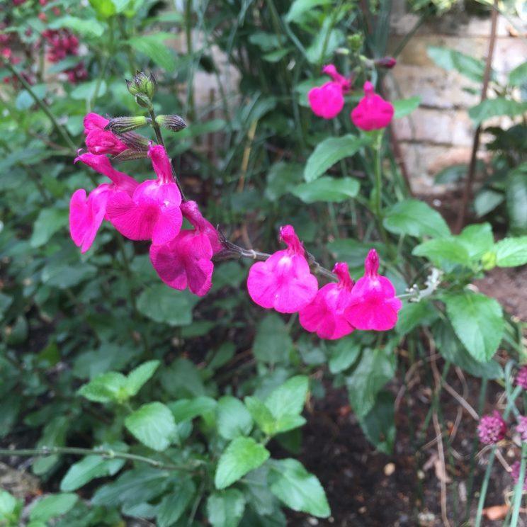 Salvia gregii 'Maraschino'