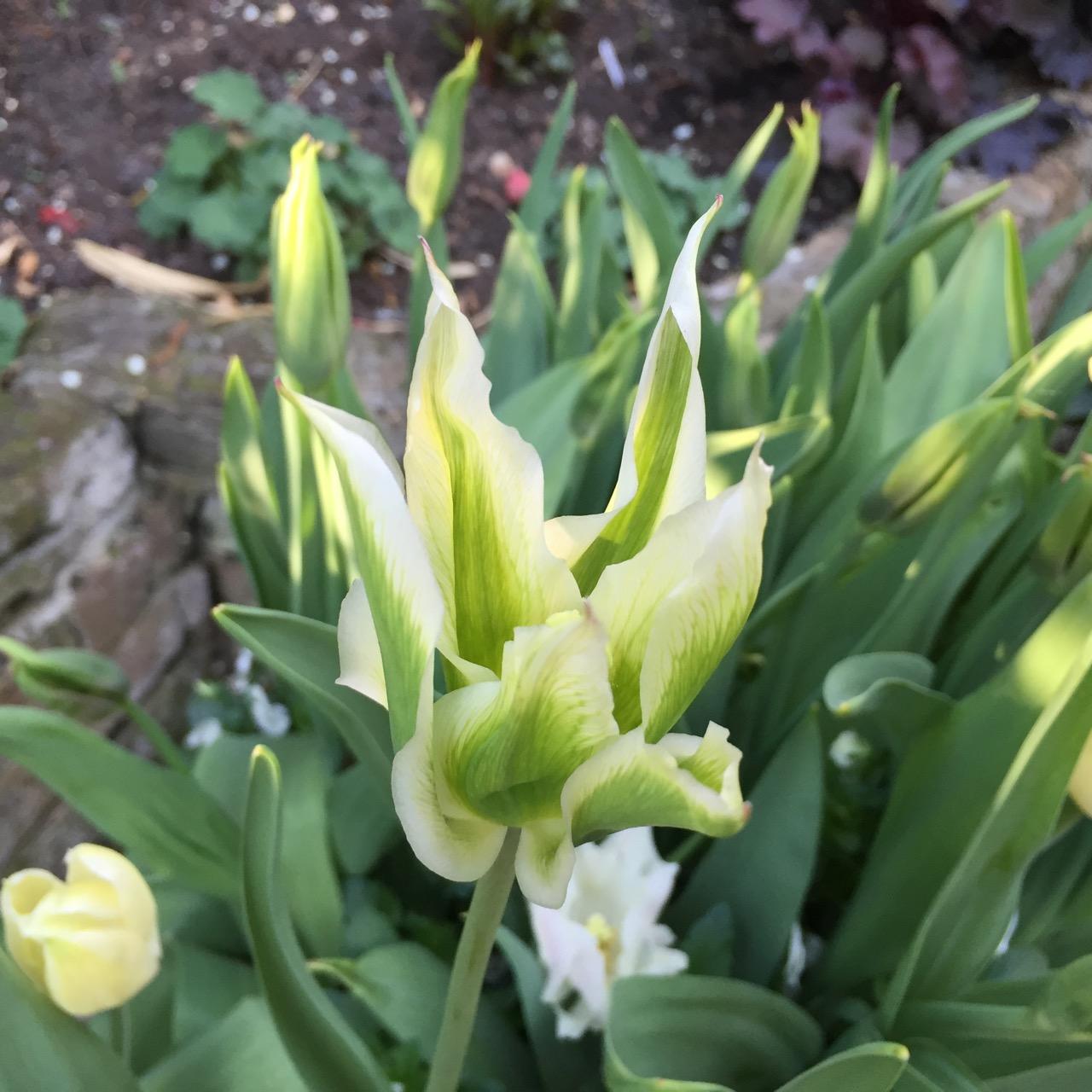 Tulipa 'Green Star'
