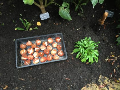 tulip-bulb-planting - 1 (1)