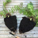 Dividing a fern (Dryopteris filix-mas)