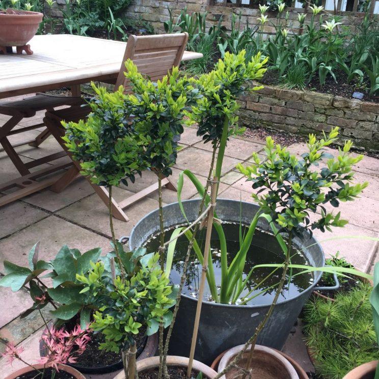 Jack Wallington, Littlebury Road, topiary