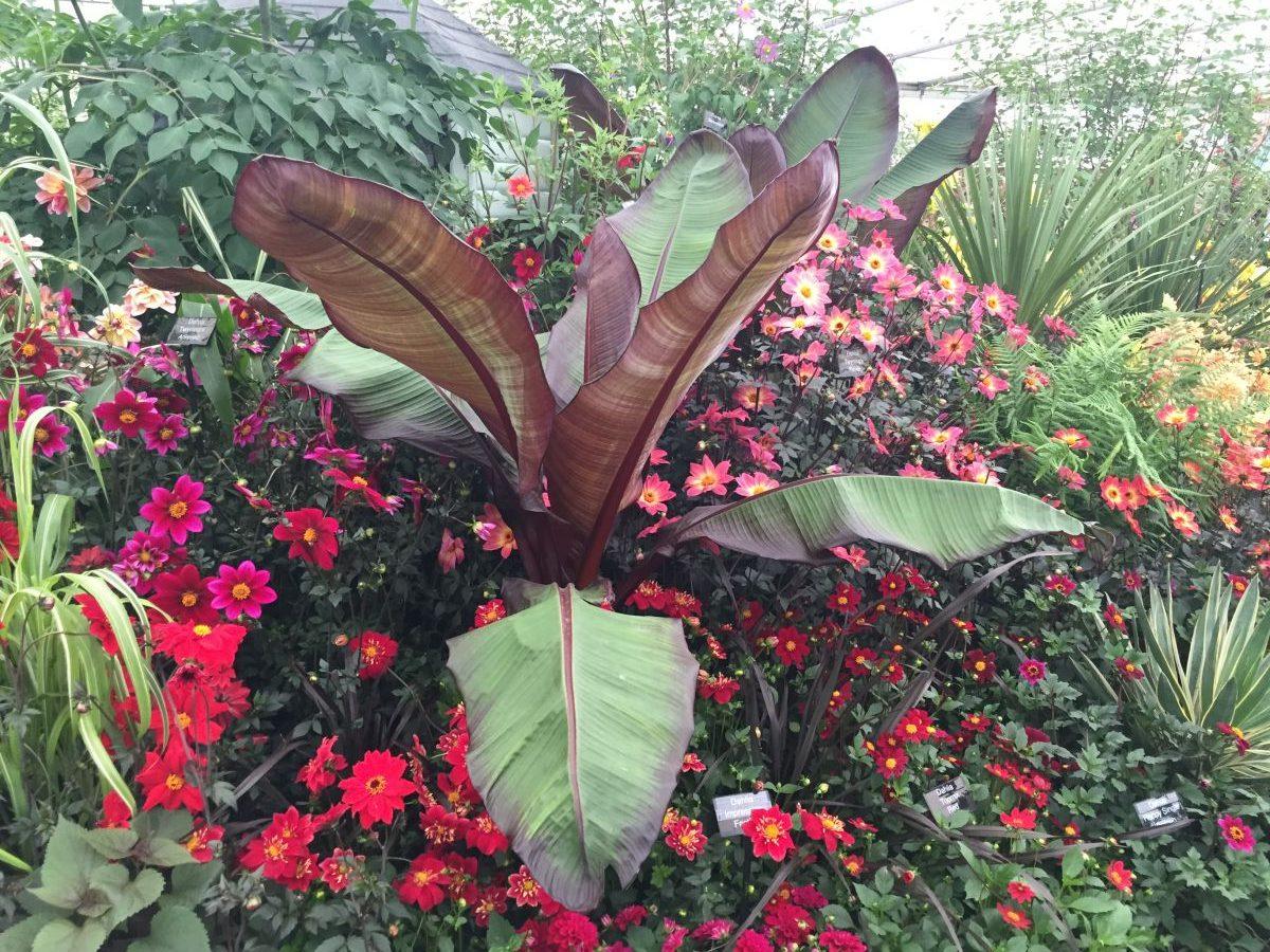Dahlias Rhs Chelsea Flower Show 2016 Jack Wallington