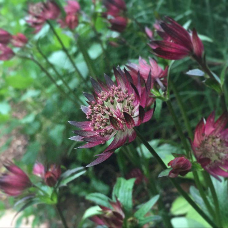 Astrantia major 'Ruby Star' - Jack Wallington