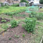 Allotment month 12: proof is in the potatoes