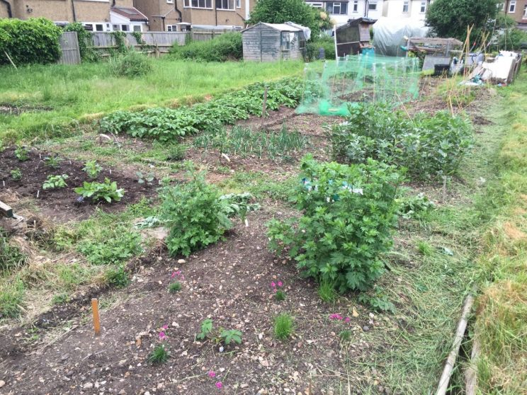 Jack Wallington's allotment in June 2016