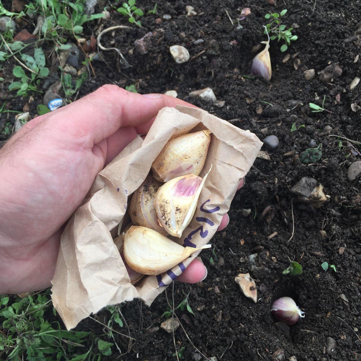 Jack Wallington allotment garlic