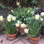 Planning the winter/spring white garden