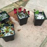 Pot's Growing On: cuttings to overwinter