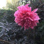 Dahlia experiment: cultivars put to the test!