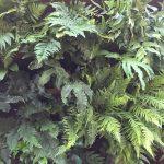 Fernatic: 50 fern species, 1 living wall!