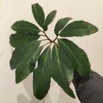 All hail Helleborus niger leaves!