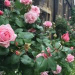 Organic gardening pros recommend chemical free roses