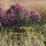 Is this the year we fell in love with Symphyotrichum? Photos from Sussex Prairies