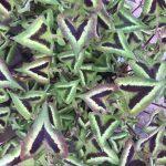 How to grow Persicaria runcinata 'Purple Fantasy'