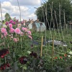 Allotment month 45: salad harvest, colourful potatoes and rainbow tomatoes