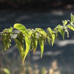 Stinging nettles, a troublesome but useful weed