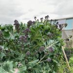 Allotment Month 52 – March: hunt for the best purple sprouting broccoli, forced rhubarb and colour like no other!