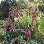 How to grow annual Persicaria orientalis from seed