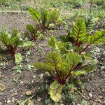 Allotment Month 55: vigorous legumes, squash and pumpkins, tomatoes