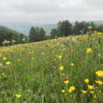 Meadow species spotted